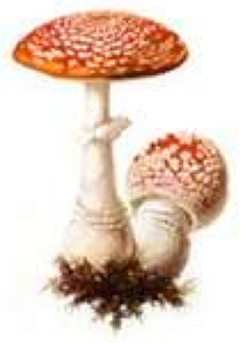 Amanita mushroom form mycorhizal relations with plant roots